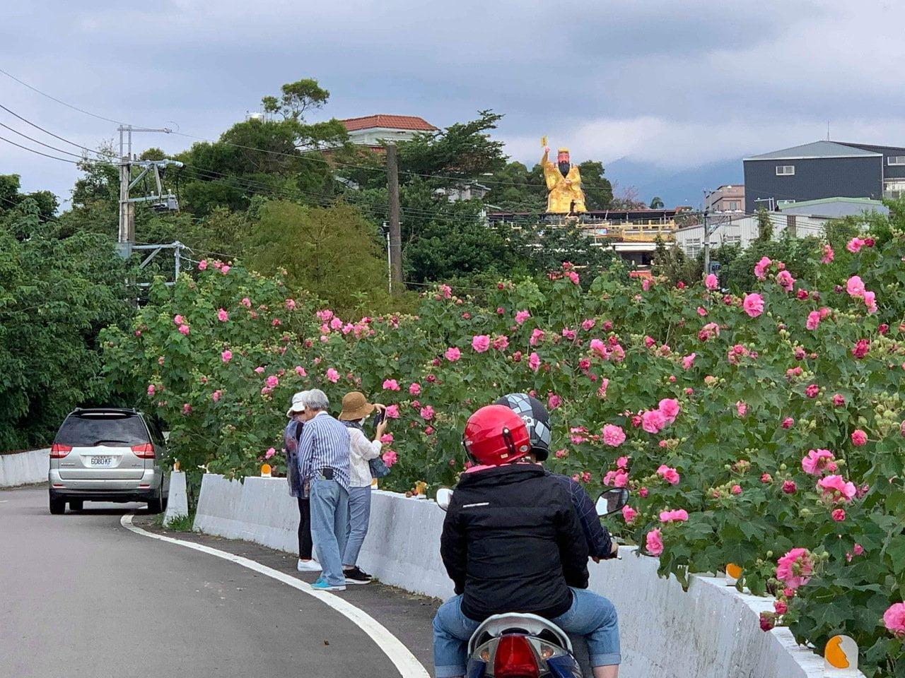 淡水櫻花季 天元宮 2/27-3/31 交通管制 公車接駁 停車場資訊 Hibiscus mutabilis Flower N8 county road Tamsui