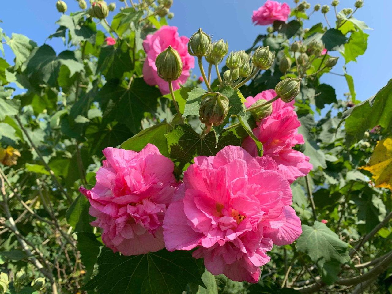 淡水木芙蓉花季 桃紅秋色滿開 Hibiscus mutabilis Flower Tamsui